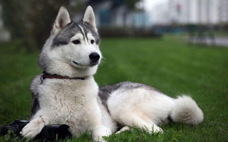 تربية الكلاب الهاسكي