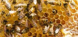 معلومات عن النحل …تعرف على بعض أنواع النحل وأفضل أنواعها النوع المصري و10 فوائد للعسل