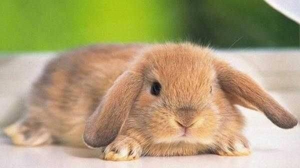 الأرنب الفرنسي