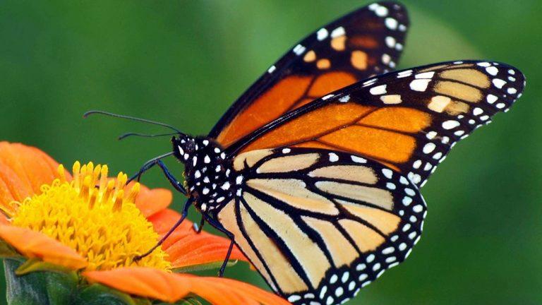 طريقة تربية الفراشات
