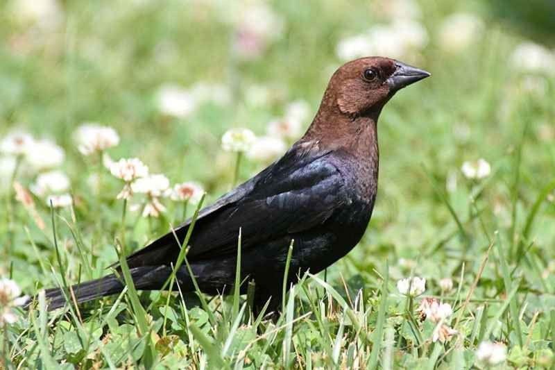 معلومات عن طائر الوقواق .. تعرف على الطائر الذى يخرج من ساعة الحائط طائرالوقواق أو الكوكو