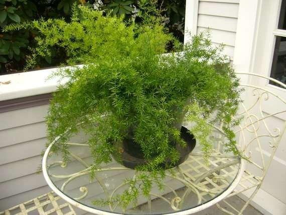 كيفية زراعة الاسبرجس الناعم  –