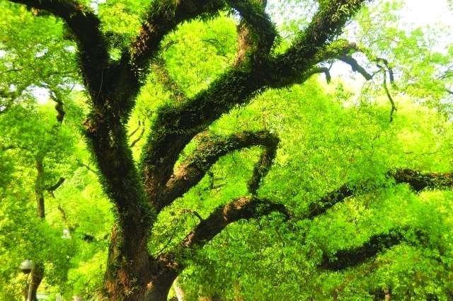 معلومات عن شجرة اليوكالبتوس….. تعرف على اهم المعلومات عن شجرة اليوكالبتوس l  بحر المعرفة