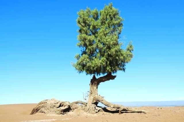 فوائد هدب الأثل شجرة الأثل المذكورة في القرآن الكريم