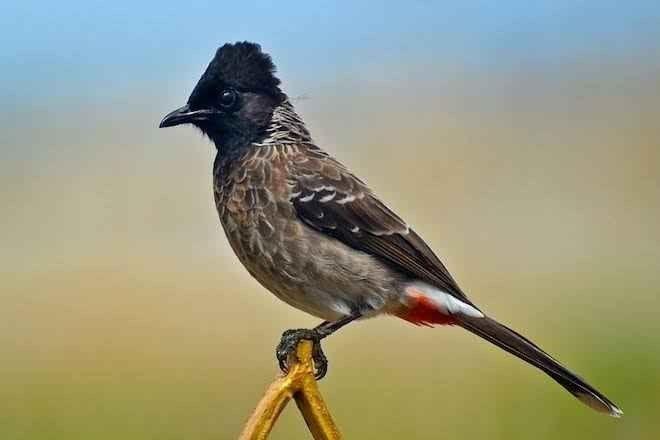 معلومات عن طائر البلبل .. واحد من أجمل الطيور المغردة وأصغرها حجما