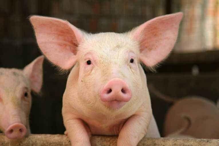 حقائق عن الخنزير … كل ما يهمك معرفته حول الخنزير وفترة نموه فى  بحر المعرفة