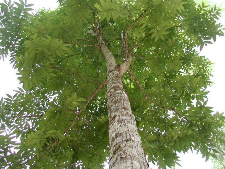 شجرة الماهوجني الإستوائية
