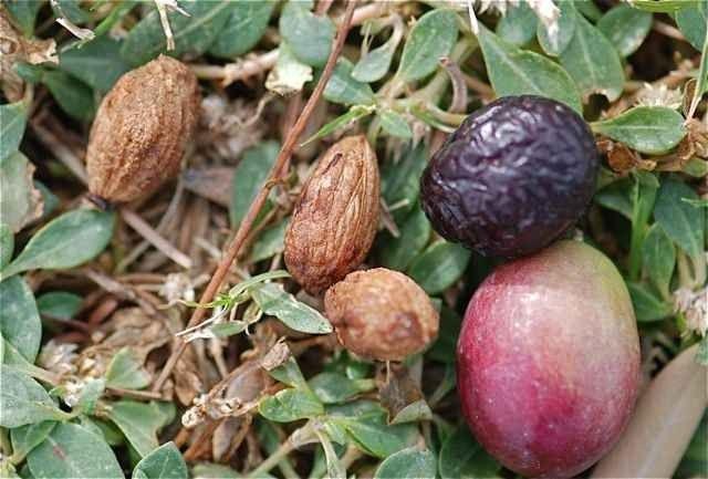 طريقة زراعة الزيتون بالبذور .. تعلم خطوات زراعة بذور الزيتون وأنواع الأسمدة اللازمة لتغذية التربة