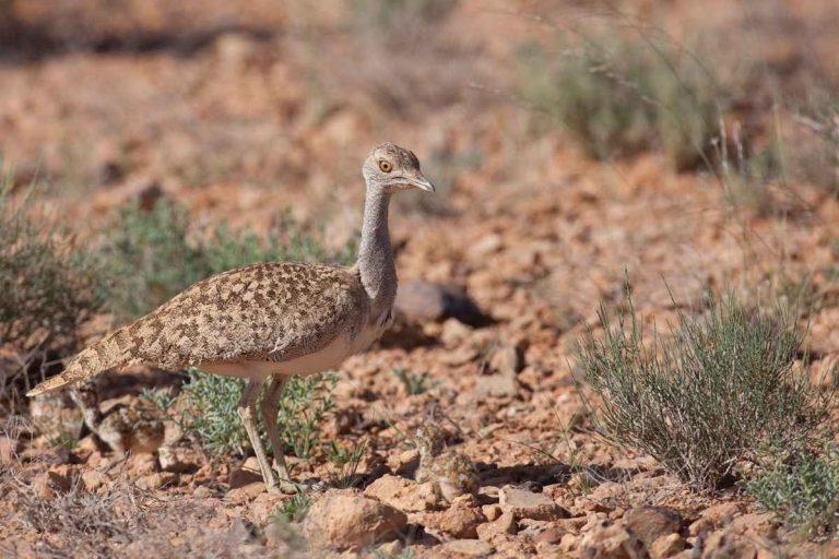 معلومات عن طائر الحبارى .. تعرف على طائر الحبارى الطريدة الأولى للصيد فى دول الخليج العربى