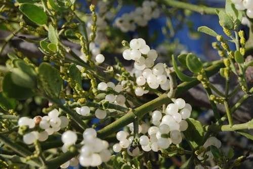 معلومات عن نبات الهدال  –