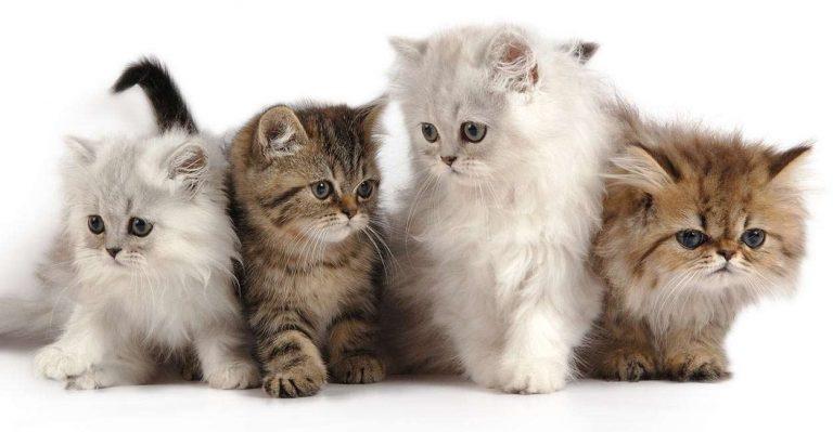طرق تربية القطط الشيرازية