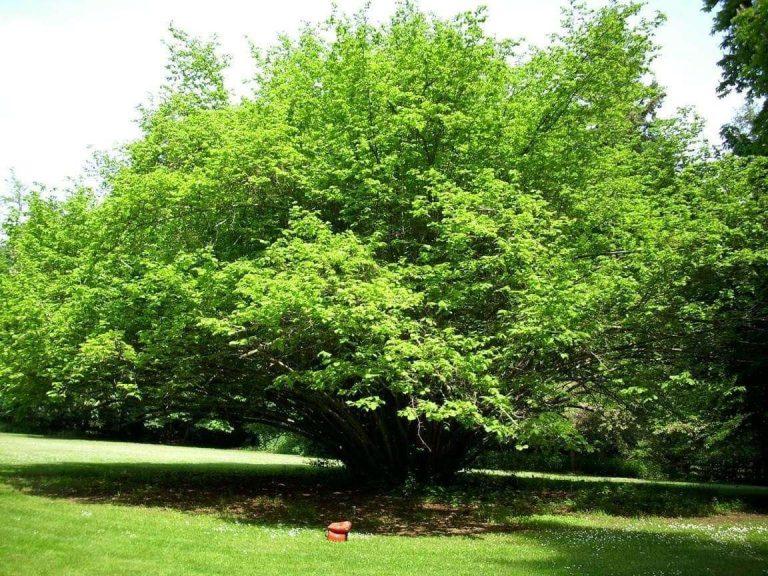 معلومات عن شجرة البندق – تعرف على أهمية أشجار البندق والدول المتصدرة في زراعته