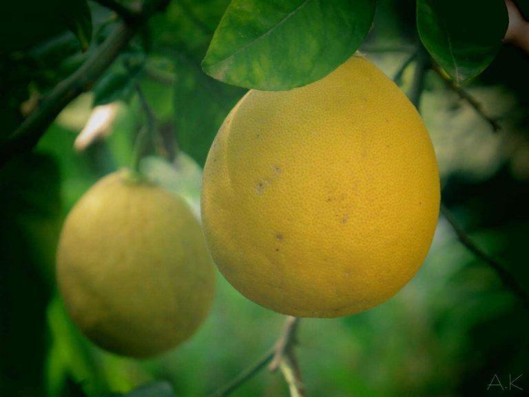 معلومات عن شجرة البوملي