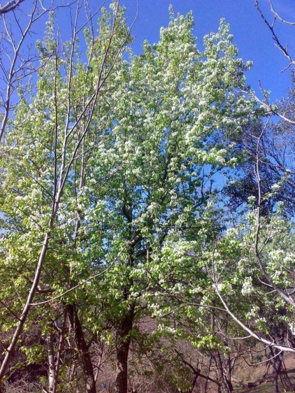 معلومات عن شجرة الإجاص