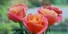 أفضل أنواع الورد