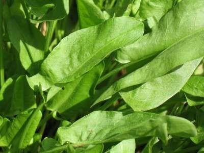 معلومات عن نبات الحميض