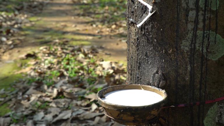 معلومات عن شجرة المطاط