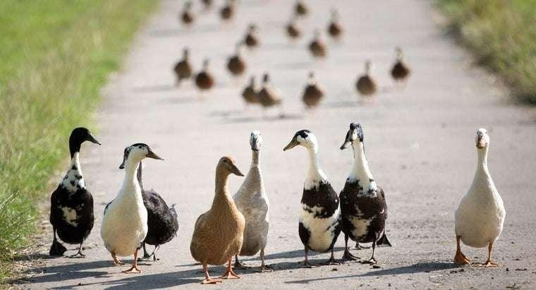 الفرق بين البط والوز…..تعرف على اهم الفروق بين البط والإوز l  بحر المعرفة